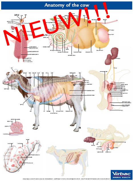 anatomy of the cow