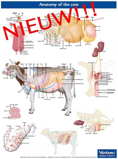 Anatomische poster rund
