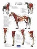 Poster paard spierstelsel