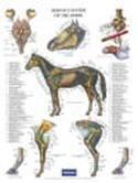 Poster paard zenuwstelsel