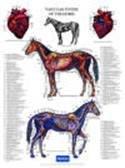 Poster paard bloedvatstelsel
