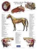 Poster paard maagdarmstelsel
